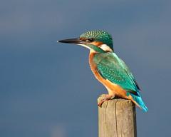 Saturdays Kingfisher (Andrew Haynes Wildlife Images) Tags: colour bird nature kingfisher avian