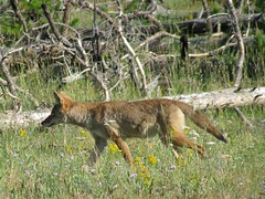 Coyote (dtroyka) Tags: coyote yellowstone