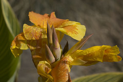 Canna Lily (paulgladwell) Tags: nature solihull knowle