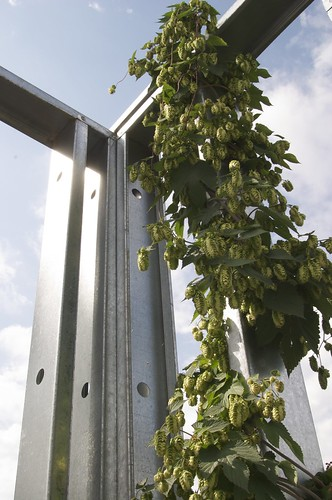 hops growing on the walls