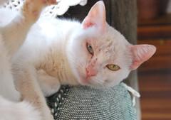 Bicolor (Christofer Dalla Lana) Tags: branco cat gato gatobranco heterocromia