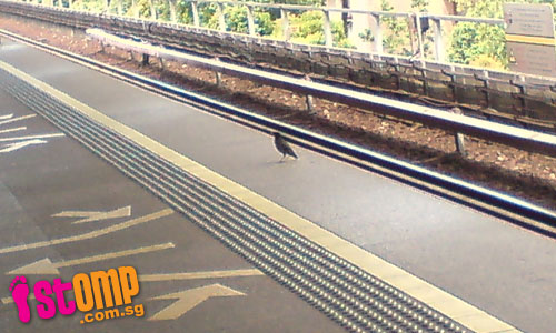 Rebellious bird doesn't care for its safety and goes against the MRT system