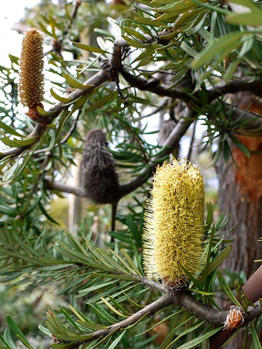 5 of 12: Banksia