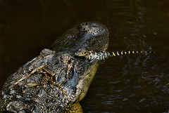 In his Mothers eye.  Baby gator and mom (Jamie Felton Photo) Tags: bird nature mom waco florida gator alligator swamp wildlif juvenillealligator gatorbaby
