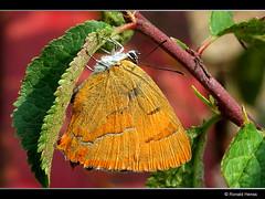 Thecla betulae - Brown Hairstreak - Nierenfleck-Zipfelfalter (RonaldFoto) Tags: butterfly papillon mariposa schmetterling brownhairstreak birkenzipfelfalter theclabetulae faralla nierenfleckzipfelfalter