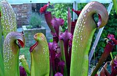 Sarracenia greenhouse (CameliaTWU) Tags: plant carnivorousplant sarracenia dicot sarraceniaceae purpleleaves spottedleaves dicotyledons trapleaves tubularleaves