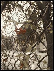 Fence Berries (Tim Noonan) Tags: autumn urban tree art digital photoshop fence berries pyramid manipulation legacy mosca hypothetical tistheseason sharingart awardtree miasbest daarklands flickrvault trolledproud trolledandproud magiktroll