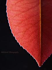 Nerves (B@rbar@ (Barbara Palmisano)) Tags: autumn red black macro nature leaf natura foglia autunno rosso nero ohhh nerves nervi onblack abigfave