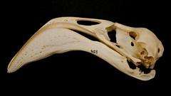 Flamingo skull (pomphorhynchus) Tags: kingscollegelondon guyshospital museumoflifesciences flamingoskull