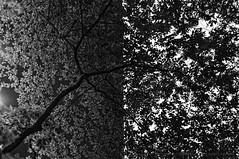 Urban Fragments 2: International Forum, Yurakucho, Tokyo (Alfie | Japanorama) Tags: city autumn trees urban blackandwhite tree nature monochrome leaves japan japanese tokyo leaf nikon cityscape lookingup manualfocus internationalforum yurakucho d300 urbanfragments nikkor50mmf18ais