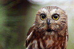 Curious Creature (Megan Lorenz) Tags: ontario canada bird nature closeup outdoors looking wildlife small watching tiny owl surprised curious muskoka predator northern staring alert avian birdofprey shocked wildanimals sawwhetowl mwc blurredbackground specanimal abigfave platinumphoto muskokawildlifecentre meganlorenz vosplusbellesphotos mlorenzphotography