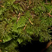 Hylocomium splendens 'Stair Step Moss' and Ptilium crista-castrensis 'Knight's Plume'