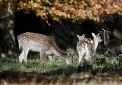 Deer Feeding (andyklink) Tags: autumn yorkshire sigma fountainsabbey studleyroyal