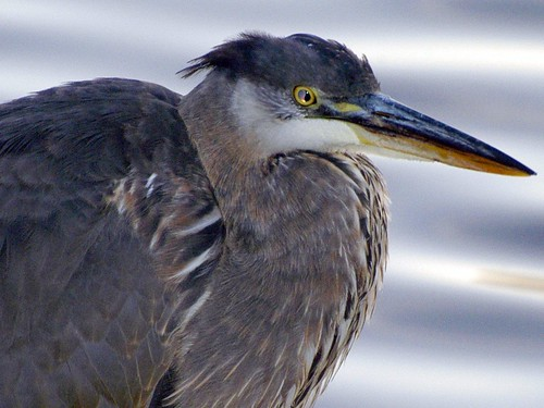 great blue heron golden eye