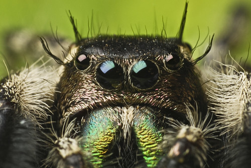 *re-uploaded* Focus stack of Phidippus otiosus - adult male