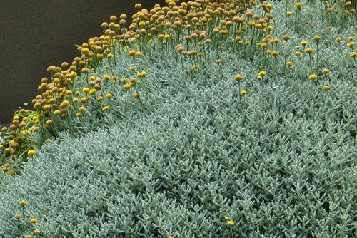 Santolina chamaecyparissus (rq) - 01
