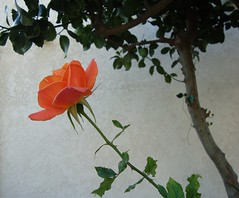 The Bodyguard. (Esther Spektor - Thanks for 10+ millions views..) Tags: trees orange color green leaves rose simplyflowers fantasticflowers awesomeblossoms