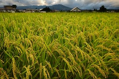 When we had Summer (jasohill) Tags: sunset summer green japan landscape photography japanese rice paddy we when iwate backgrounds  had  2009  matsuo  hachimantai    superaplus aplusphoto platinumheartaward jasohil