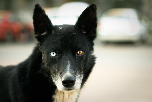 フリー画像| 動物写真| 哺乳類| イヌ科| 犬/イヌ| オッドアイ/虹彩異色症|      フリー素材|