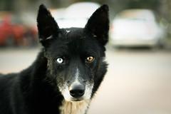 [フリー画像] [動物写真] [哺乳類] [イヌ科] [犬/イヌ] [オッドアイ/虹彩異色症]      [フリー素材]