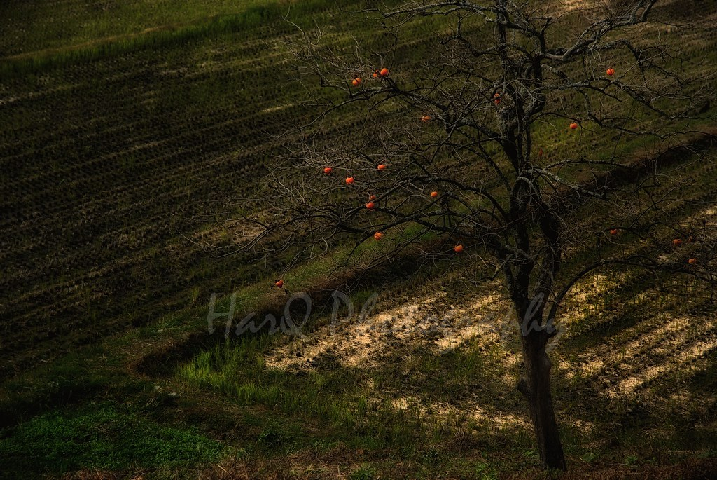 Persimmon on the farm