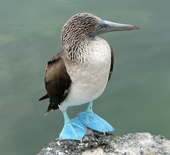 Blue-footed Booby...the profile (SamSpade...) Tags: blue birds canon ecuador profile feathers galapagos s2is masterpiece booby birdwatcher sulidae footed 267 sulanebouxii 3684 abigfave avianphotography avianexcellence eiap fantasticwildlife wildlifeaward diamantefotosatuestilo universeofnature naturesprime 10diamante