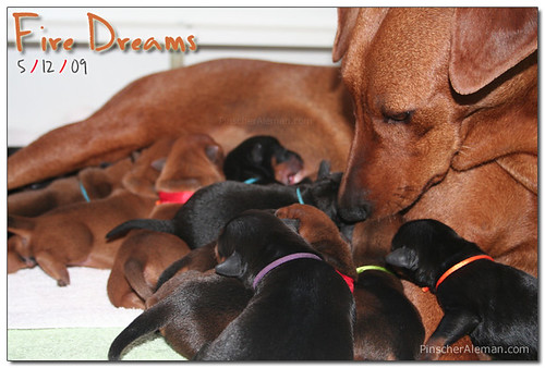 German Pinscher Puppies