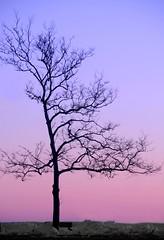 Bare Heart (floralgal) Tags: county pink winter sunset snow tree point landscape december purple dusk connecticut darien baretree barebranches colorfulsky darienconnecticut connecticutfairfield connecticutpear beachfairfield