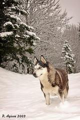 nire txakurra -  my dog (Peio Agirre argazkiak) Tags: naturaleza dogs animals canon husky natura perros animales txakurrak animaliak hotz 40d mywinners peioagirre updatecollection icehuskies