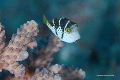 Baby boxfish (genna S) Tags: ocean sea fish southafrica marine underwater wildlife indianocean invertebrates marinelife sodwana