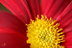 Yellow & Red Daisy (Senzio Peci) Tags: red italy plant flower macro nature italia natura daisy sicily fiore rosso sicilia margherita patern intothedeepofmysoul