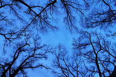 "Tree Canopy - branches sihouetted against night sky (IronRodArt - Royce Bair (""Star Shooter"")) Tags: blue sky tree night evening twilight branch bare branches network limbs canopy horticulture"