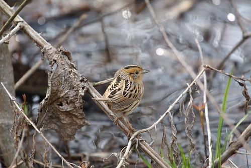 Le conte's Sparrow by ricmcarthur