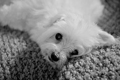 """""""Are you done yet?"""" (Carole_R) Tags: blackandwhite afghan knitted maltese shuttersisters365"""