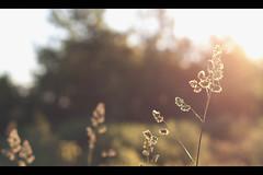 growing tired (untiefen) Tags: sky sunlight plant flower berlin beautiful leaves canon 50mm weide corn warm blossom bokeh f14 sommer pflanze smooth crop grün blatt blüte landschaft sonne 50mmf14 gegenlicht kornfeld cornrows shallowdof warmtones citynature 50d 055prob canoneos50d offenblende blumenundpflanzen