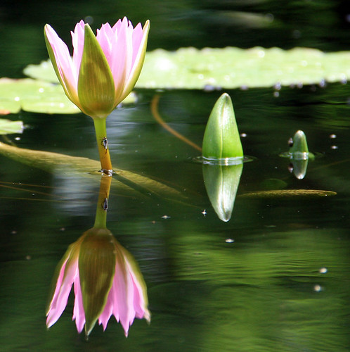 Pink Water Lily and Buds