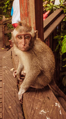Baby Poser (Neil A Byrne) Tags: monkey baby youth animal bali tourist travel travelphotography touristphotography traveltheworld travelphoto world worldtravel wildlife indonesia