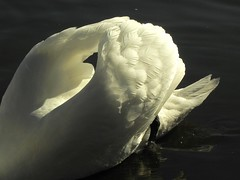 ...feathers to you (carbumba) Tags: swan goose white feathers swim water nature