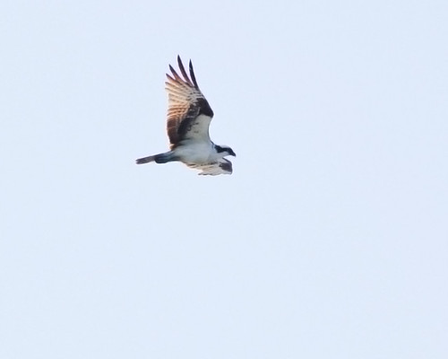 Osprey in Flight (2)