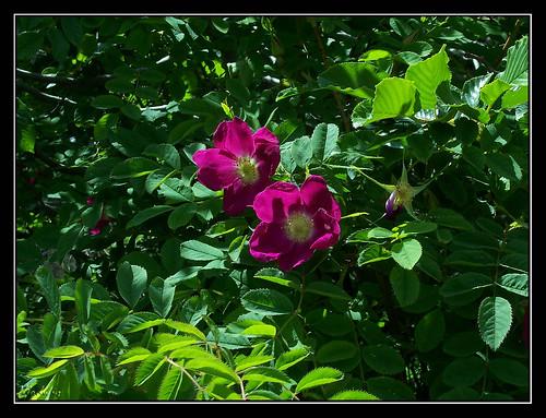 Ordesa - rosales silvestres