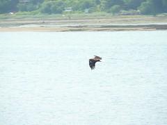 P1060670.JPG (wfischer) Tags: bald juneau eagles dipac