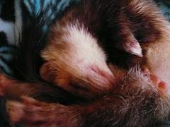 Bandit (LittleMischiefRescueSociety) Tags: snowflake ferrets sweetpea bandit