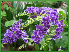 Duranta erecta 'Sweet Memories' at our backyard, July 5 2009