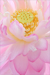Lotus Flower - IMG_8610 (Bahman Farzad) Tags: pink flower macro yoga peace lotus relaxing peaceful petal meditation therapy lotusflower lotusflowers lotuspetal lotuspetals lotusflowerpetals lotusflowerpetal