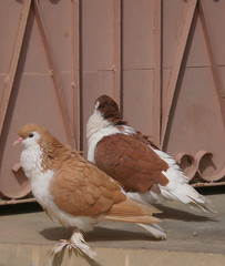 A Nice Couple (~ hba ~) Tags: pakistan nature pigeon karachi lahore sherazi