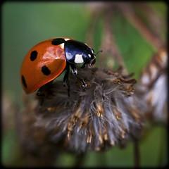 Seven-Spot Ladybird (strussler) Tags: macro canon insect eos 350d beetle sigma ladybug f28 naturesfinest coccinellaseptempunctata sevenspotladybird vosplusbellesphotos