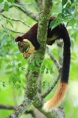 Indian Giant Squirrel ~ Nagarhole National Park (The Eternity Photography) Tags: india tourism nature animal forest canon mammal prime nationalpark squirrel asia wildlife safari jungle 600 karnataka 2009 sanctuary wildlifesafari southindia digitalphotography gamedrive nagarhole sciuridae indiatourism wildlifephotography giantsquirrel wildindia indianwildlife karnatakatourism incredibleindia nagarholetrip indiangiantsquirrel ratufaindica malabargiantsquirrel iloveindia nagarholenationalpark 40d visitindia natureislovely santanubanik theeternity nagarholewildlifesanctuary savethewildlife havingfood     iloveindianwildlife    wwwfrozenforeternitycom southindiaforest
