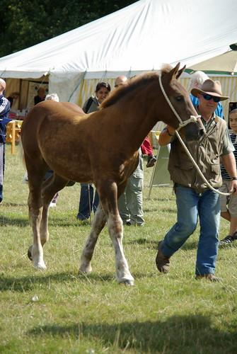 Suffolk Filly Foal