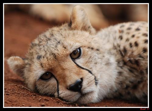 Cheetah at the Nairobi Animal Orphanage