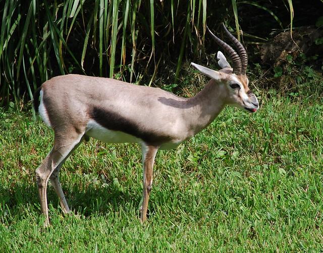 Speke's gazelle 2